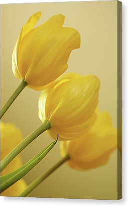 Yellow Tulip Trio Canvas Print by Bonnie Bruno