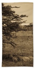 Male Lions Snoozing In Shade Beach Towel by Darcy Michaelchuk
