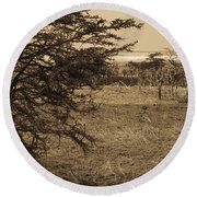 Male Lions Snoozing In Shade Round Beach Towel by Darcy Michaelchuk