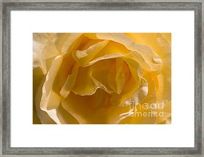 Yellow Rose Ruffles Framed Print