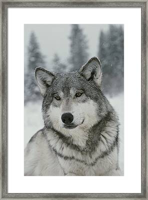 A Portrait Of A Beautiful Gray Wolf Framed Print by Jim And Jamie Dutcher