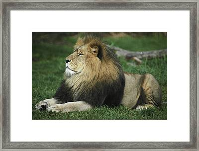 An Immense And Powerful African Lion Framed Print