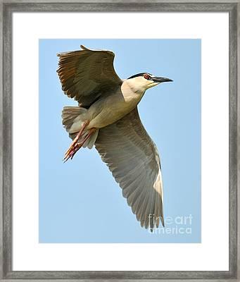 Black Crown Night Heron Framed Print
