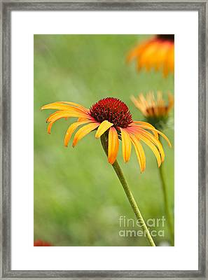 Framed Print featuring the photograph Coneflower by Eve Spring
