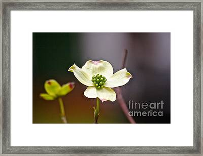 Framed Print featuring the photograph Dogwood by Eve Spring