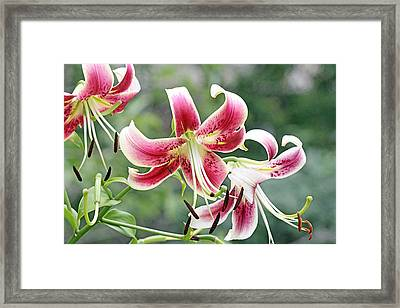 Lilies In Pink Framed Print by Becky Lodes