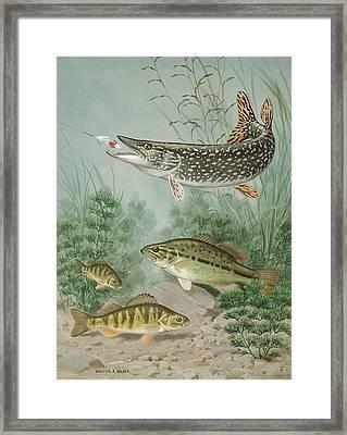 Northern Pike Bites Hook; Black Bass Framed Print