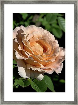 Framed Print featuring the photograph Orange Rose by Joy Watson