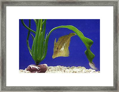 Sharpnose Puffer Fish Framed Print by Chris Martin-bahr