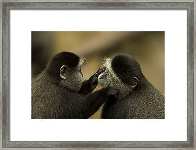 A Blue Monkey Cercopithecus Mitis Framed Print by Joel Sartore