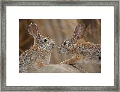 Desert Cottontail Rabbits Framed Print