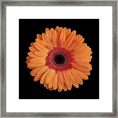 Orange Gerbera Daisy On Black Framed Print