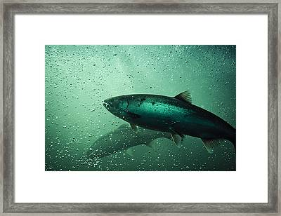 School Of Chinook Salmon Framed Print