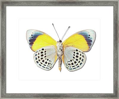 Underside Of Brush-footed Butterfly Of Peru Framed Print by MajchrzakMorel