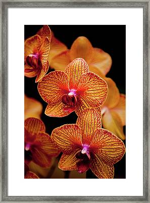 Deep Cut Orchid Society 15th Annual Orchid Show Framed Print by Dan Pfeffer