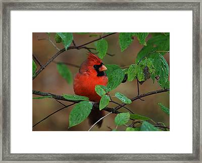 Northern Cardinal Framed Print by Perry Van Munster