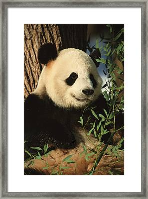 A Close View Of A Panda Framed Print by Taylor S. Kennedy