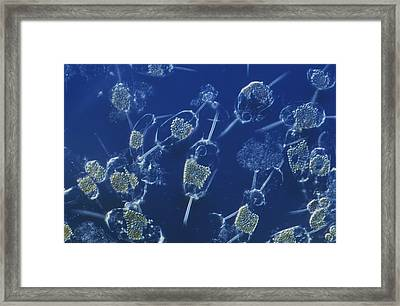 A Close View Of Marine Phytoplankton Framed Print by Bill Curtsinger