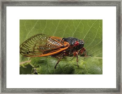 A Periodical Cicada Or 17 Year Cicada Framed Print by George Grall