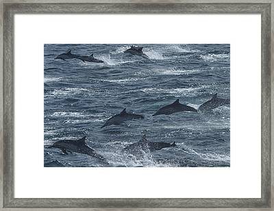 A Pod Of Common Dolphins Leaping Framed Print by Ralph Lee Hopkins