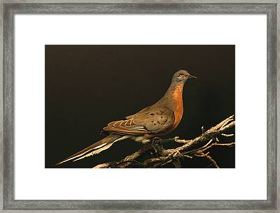 A Stuffed And Mounted Passenger Pigeon Framed Print by Joel Sartore