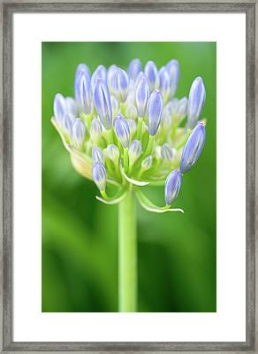 Agapanthus Africanus Flower Framed Print