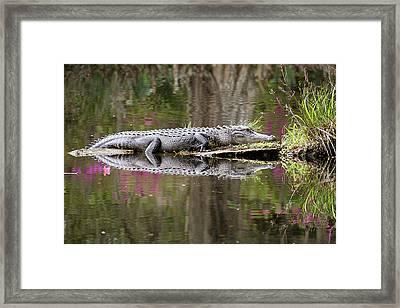 Alligator Sunbathing Framed Print by Daniela Duncan