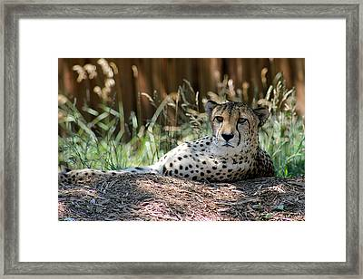 Amber Eyes Framed Print