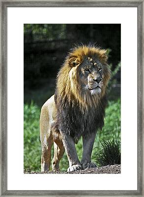 An Alert, Majestic Lion With An Framed Print