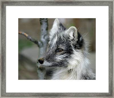 Arctic Fox In Spring Framed Print