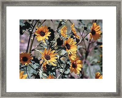 Framed Print featuring the photograph Arizona Sunflowers by Juls Adams