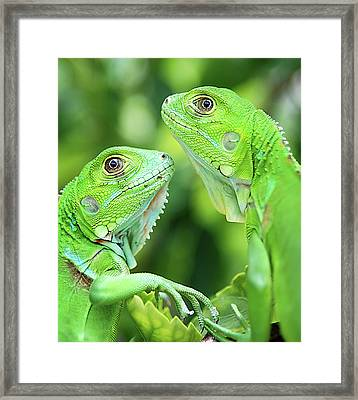 Baby Iguanas Framed Print