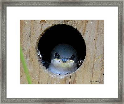 Barn Swallow Chick Framed Print by DigiArt Diaries by Vicky B Fuller