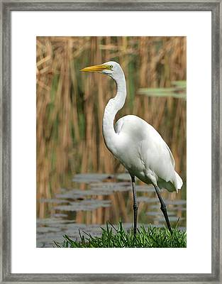 Beautiful Great White Egret Framed Print by Sabrina L Ryan
