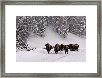 Bison In Winter Framed Print by DBushue Photography