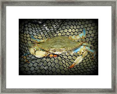 Blue Crab Framed Print by Kelly Nowak