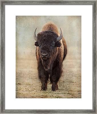 Buffalo Bull Framed Print