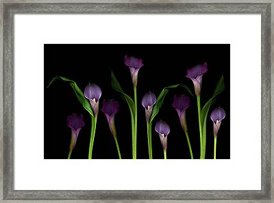 Calla Lilies Framed Print by Marlene Ford