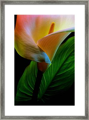 Calla Lily Framed Print by Dung Ma