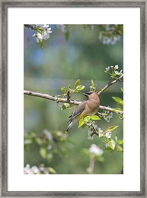Framed Print featuring the photograph Cedar Waxwing by Margaret Palmer