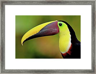Chestnut Mandibled Toucan Framed Print