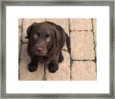Chocolate Lab Puppy Looking Up Framed Print by Jody Trappe Photography