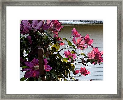Framed Print featuring the painting Clematis by Susan Fisher