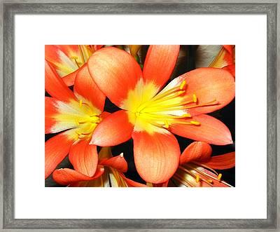 Clivia Framed Print