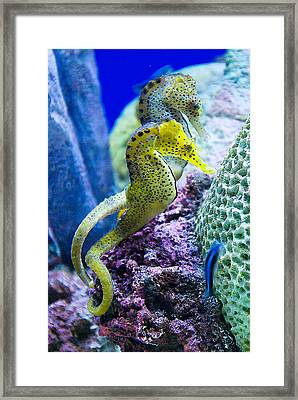 Colorful Seahorses Framed Print by Jim and Emily Bush