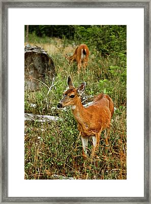 Curious Fawn In Grassy Meadow Framed Print by Christopher Kimmel