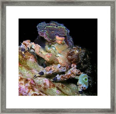 Decorator Crab Framed Print by Gary Hughes