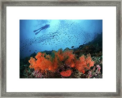 Diver And Soft Corals In Pescador Island Framed Print by Nature, underwater and art photos. www.Narchuk.com