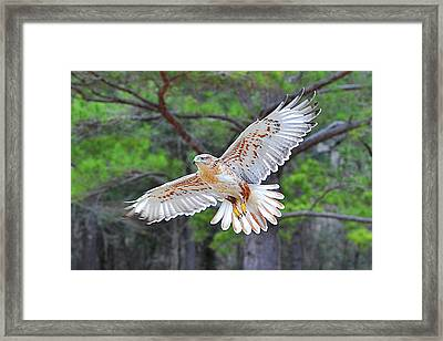 Ferriginious Hawk In Flight Framed Print