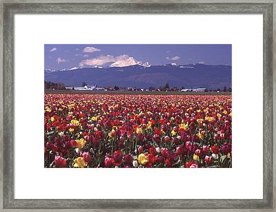 Field Of Tulips And Mount Baker Framed Print by Ansel Price